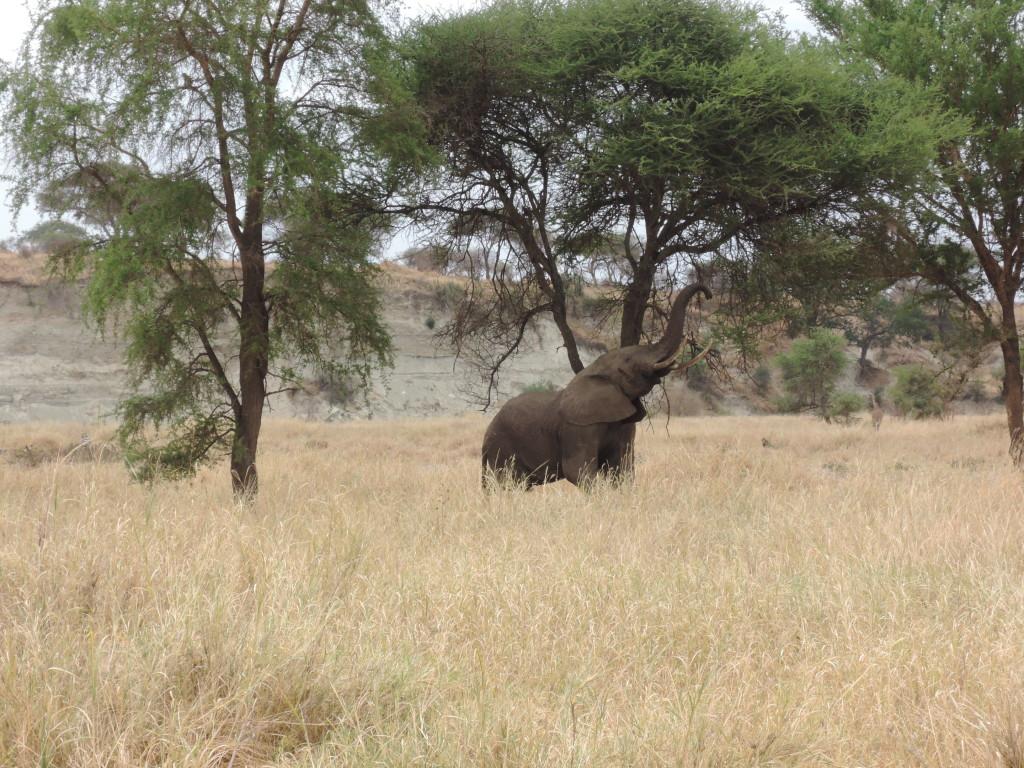 Elefanti, Safari, Tarangire