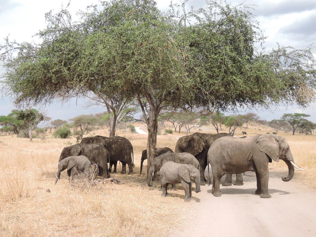 Elefanti, Tarangire, Safari