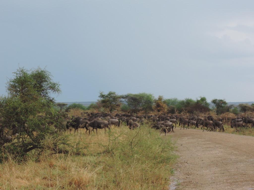 Safari, Gnu, Serengeti, Tanzania