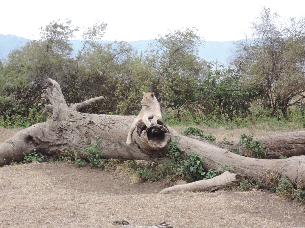 Ngorongoro, Tanzania, Leone