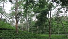 Piantagioni di te, Bangladesh